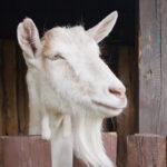 Krmivá pre kozy