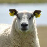 Krmivá pre ovce